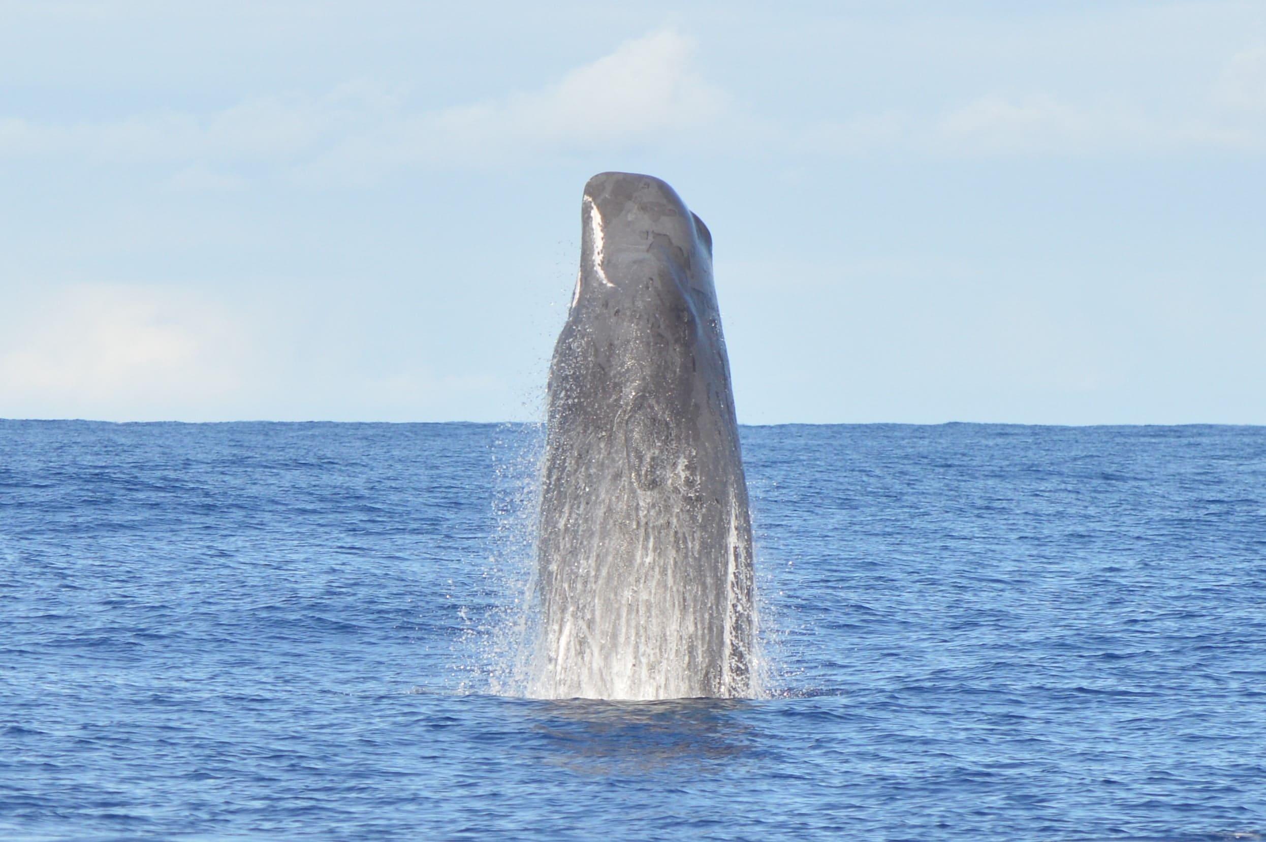 whaleexpressspermwhale